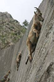 How-mountain-goats-scale-steep-mountain-sides